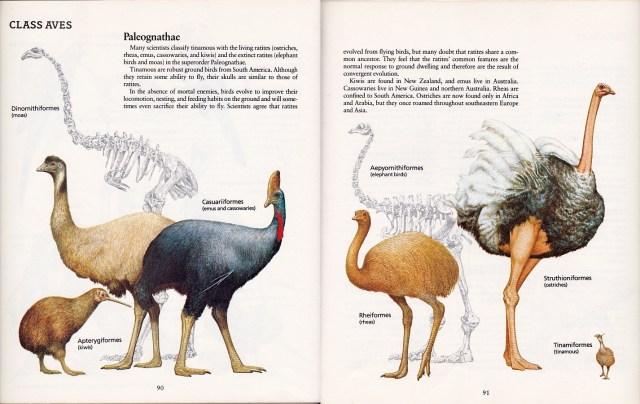 Paleognaths by Peter Zallinger