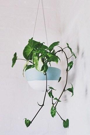 Philodendron C'est une plante d'intérieur également très populaire, car elle est extrêmement facile à cultiver. Si vous donnez à cette plante les soins et l'attention nécessaires, elle grimpera et se développera très rapidement. Un peu comme les cheveux de princesse Raiponse