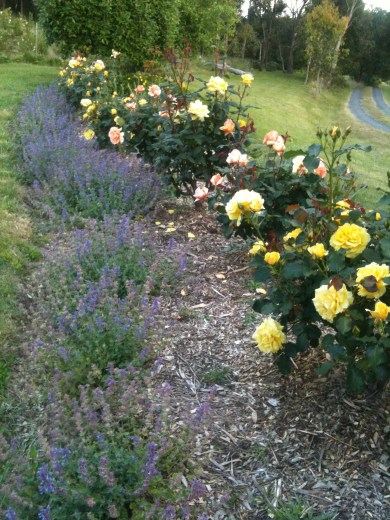 Roses and catmint
