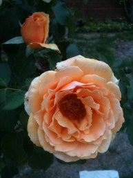 Apricot rose 2