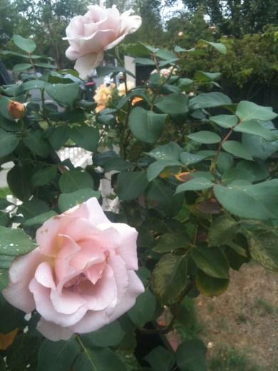Mauve rose 2