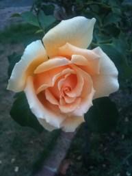 Apricot rose 3