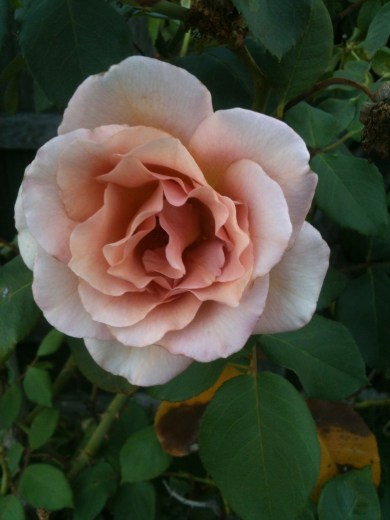 Mauve rose 3