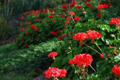 Geraniums at Gisborne