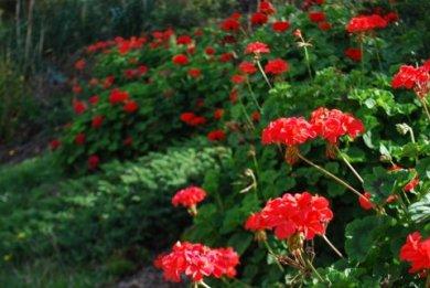Geraniums at Gisborne