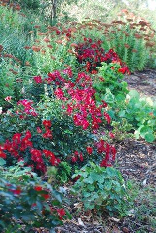 Roses & Sedums at Gisborne