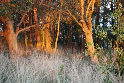 Golden bark, silver grasses #2