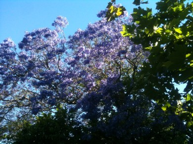 Jacaranda against the blue