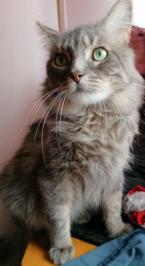 chat mâle 1 an gris poil long à l'adoption Paris