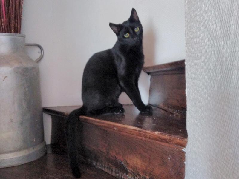pauline-chat-noire-femelle-adoption-paris