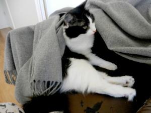 Chat lové sous une couverture