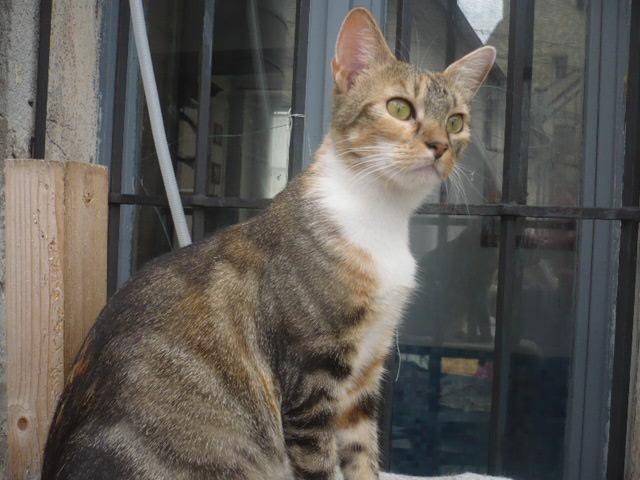 lady chat femelle tigrée roux et blanc à adopter paris