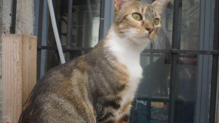LADY Chat Femelle tigrée Roux et Blanc à l'adoption