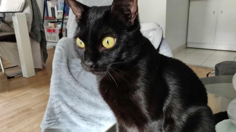 LUNA Chat Femelle noire à l'adoption