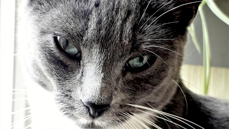Abby chat femelle 1 an grise et blanche à adopter sur Paris et proche