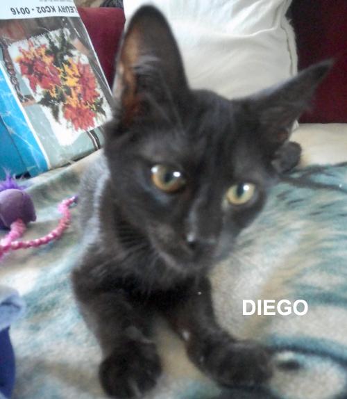 chaton noir 3 mois à l'adoption DIEGO