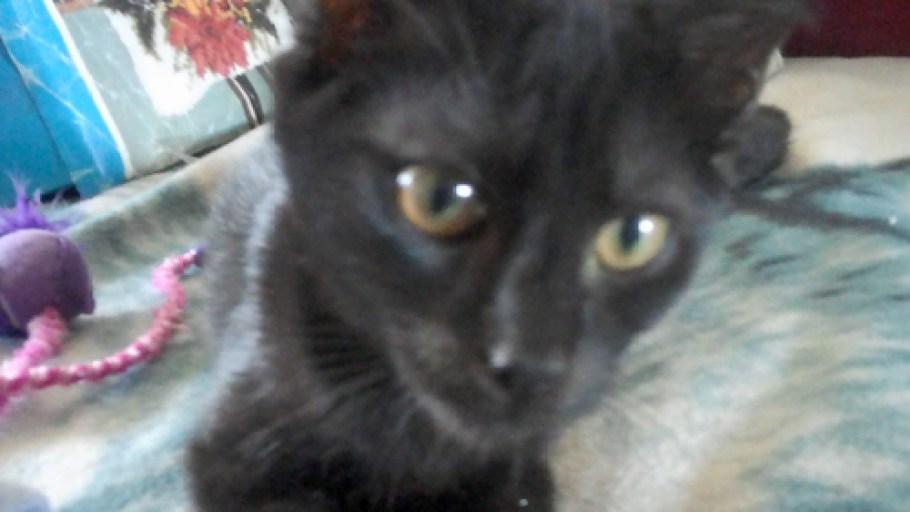 """Fratrie """"D"""" 4 chatons Noirs et Noirs et Blancs à l'adoption"""