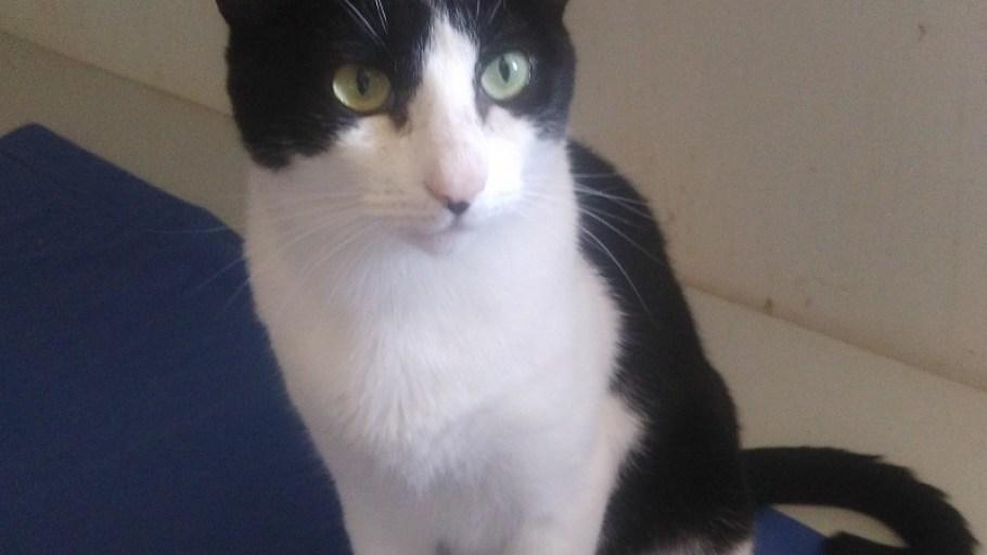 O'MALLEY chat Noir et Blanc à l'adoption