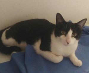 O Malley chat noir et blanc à l'adoption à Paris et ile de france