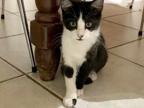 Socquette chaton femelle noire et blanche à adopter Paris