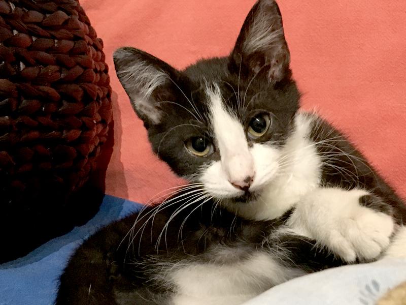 Socquette-chaton-femelle-adoption