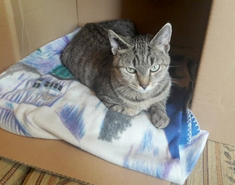 DOUCE-chat-femelle-tigre-adoption