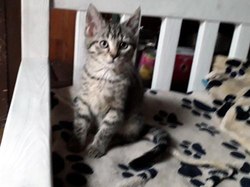 GAZELLE-chaton-tigree-2-mois-adoption-paris