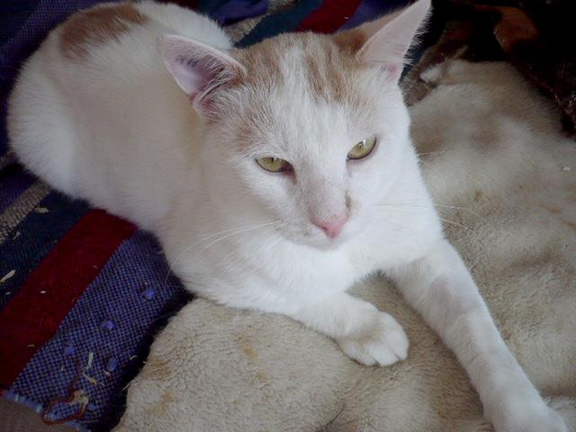 PIM-chat-blanc-creme-adoption