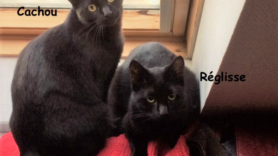 CACHOU & RÉGLISSE jeunes chats noirs frères à adopter
