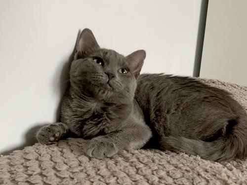 Pistache-chaton-gris-02