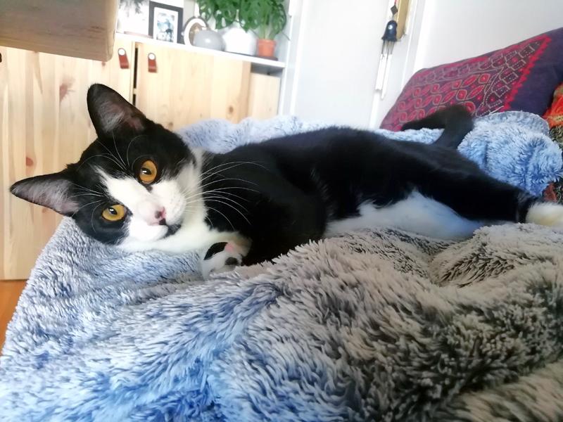 SOCQUETTE-jeune-chat-noire-et-blanc-adoption-paris