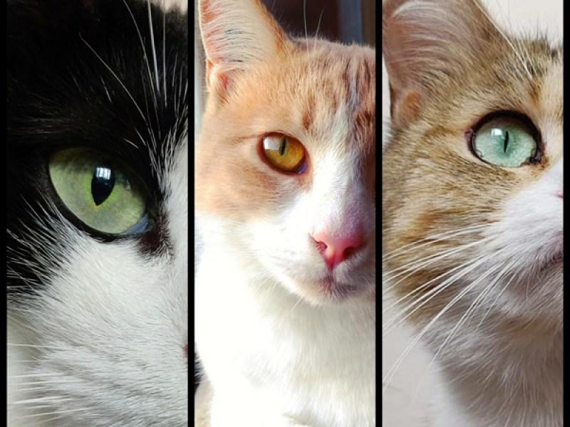 Témoignage de l'adoption à 2 ans du chat OTTAWA, adoptée en 2019