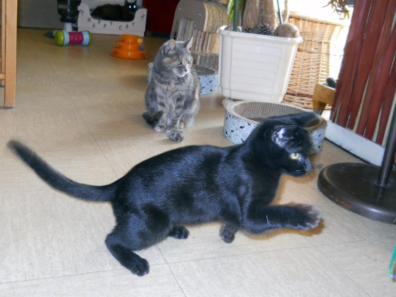 PEPPER-chaton-noir-04