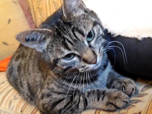 un jeune chat adulte à l'adoption