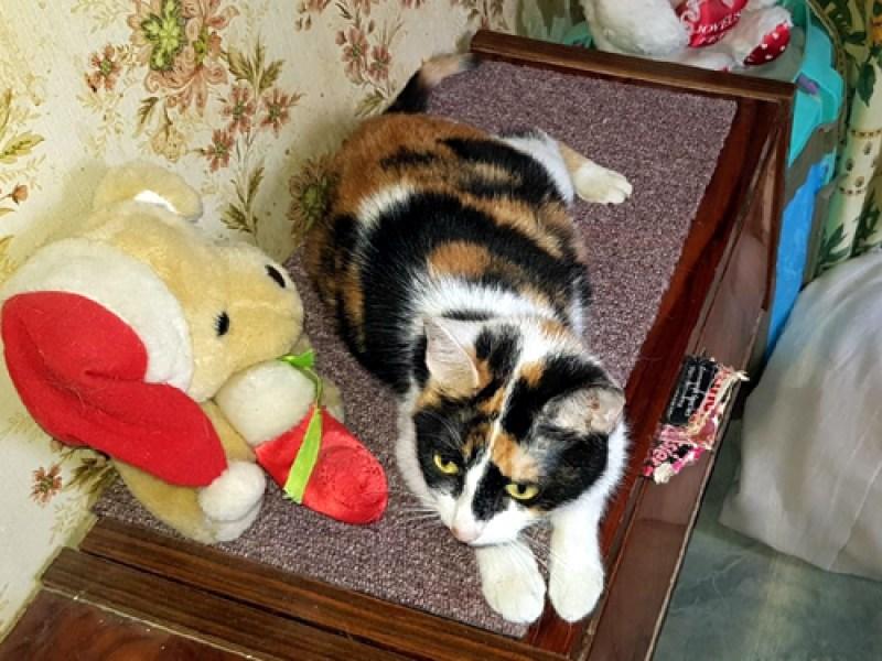 LIZY Ex Fantômette chat Femelle Tricolore 2 ans à l'adoption