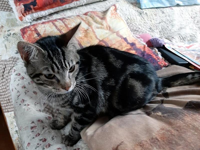 OSCAR-chaton-tigre-adoption-association