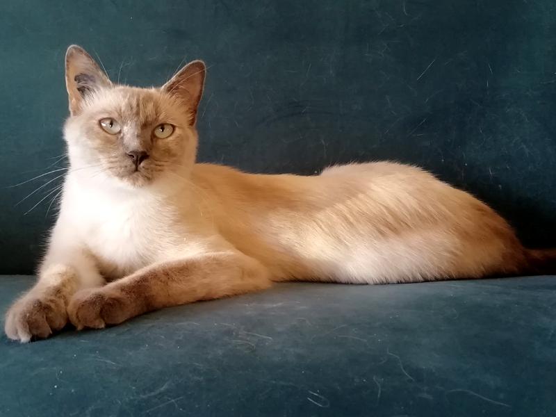 ARIA-jeune-chat-siamois-adoption-paris