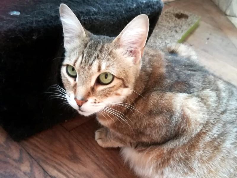 MAITRI chat Mâle Tigré 5 ans câlin et intelligent à adopter