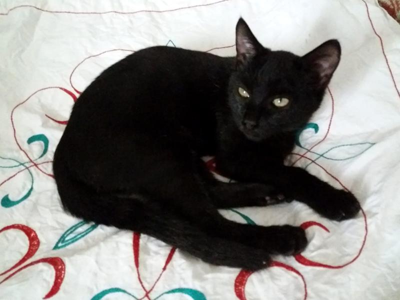 PHOEBUS-chaton-noir-adoption-paris-association