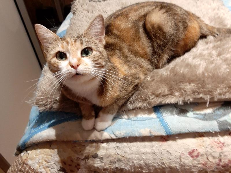 ROSY-chat-femellle-roux-noir-1-an-adoption