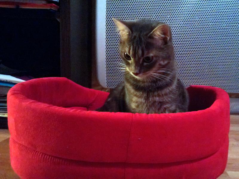 SIRI-chaton-adopte-3-mois-association-paris