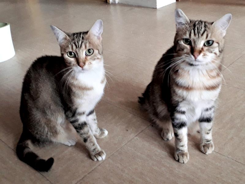 Jeunes Chats Tigrés 1 An, PAILLE & POMPON  sont à l'adoption un duo de chats doux et câlins