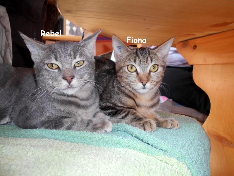 Adoption confirmée pour le duo de chatons : REBEL & FIONA CHATONS TIGRÉS