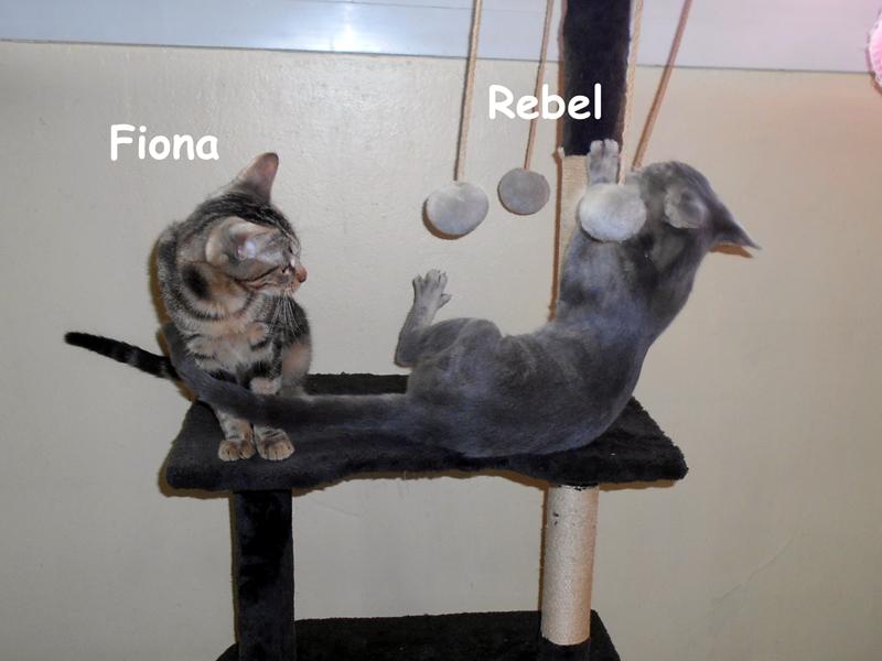 CHATONS TIGRES Adoption en duo recherchée pour REBEL & FIONA