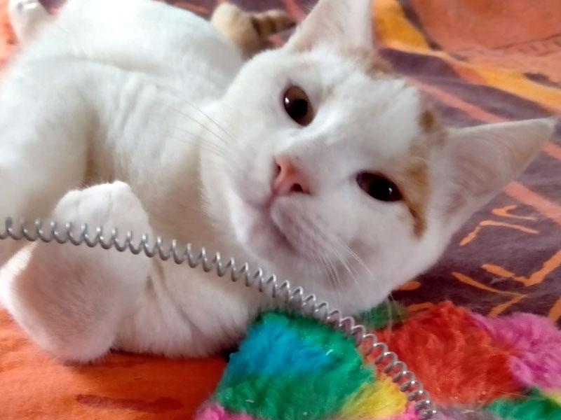 CHATON Mâle blanc et roux 5 Mois COOKIE est un amour qui a trouvé sa famille d'adoption pour la vie