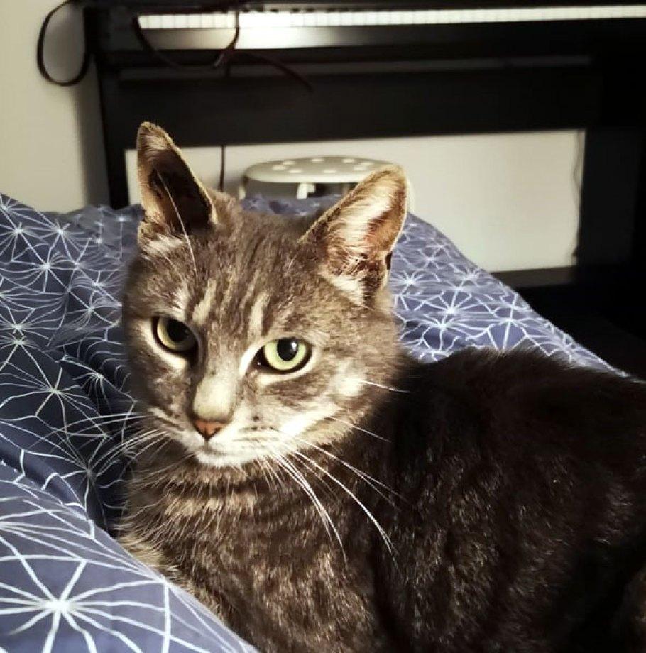 Sirine Chat Femelle Tigrée grise  2 ans a trouvé une famille