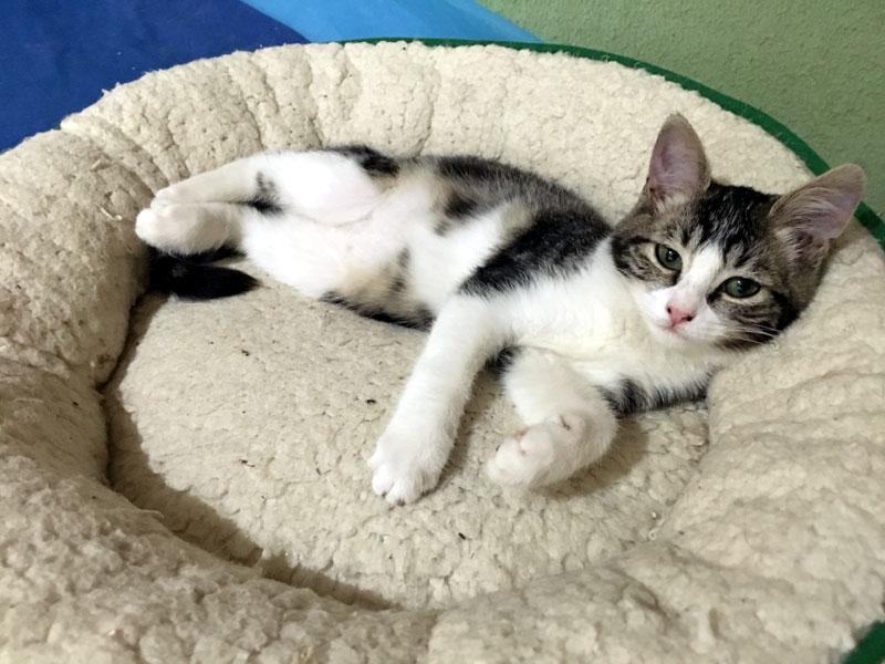 TAGADA-chaton-femelle-tigree-adoption-paris
