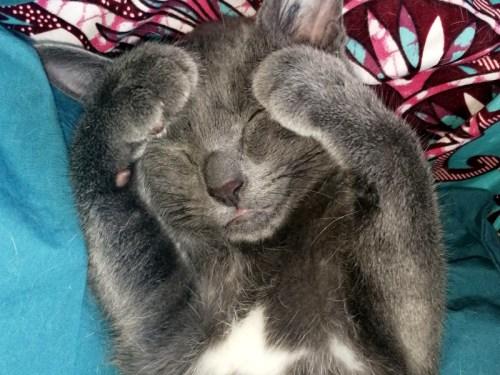 adorable chaton gris à adopter Paris avec notre association