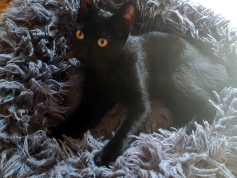 MYA-chaton-noire-adoption-paris-association