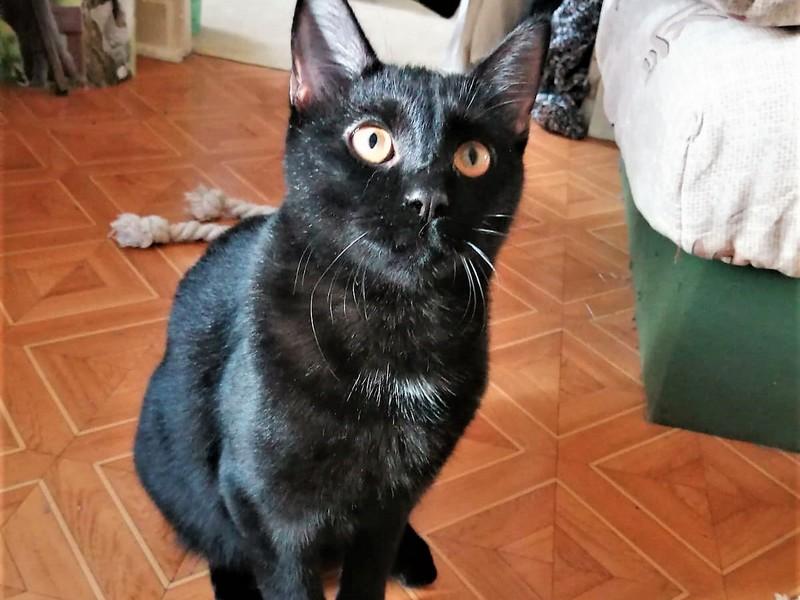 REGLISSE Chaton noir à adopter de 6 mois, très doux et très câlin